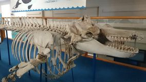 Whale Skeleton Royalty Free Stock Images