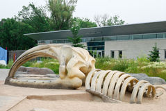 Whale skeleton Stock Photography