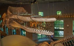 Whale Skeletons in North Carolina Museum of Natural Sciences. The North Carolina Museum of Natural Sciences is located in downtown Raleigh, North Carolina. It is royalty free stock images