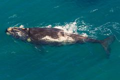 Whale South Africa. Adult Whale off the water in St Lucia, South Africa, one of the top Safari Tour destinations. Aerial view. Whale watching during migration royalty free stock photo