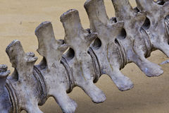 Whale Spine Stock Images