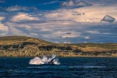 Whale splashing Stock Photo