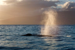 Whale spout. Beautiful humpback whale spouting at sunset Royalty Free Stock Image