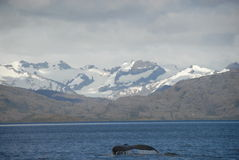 Whale in Strait of Magellan Stock Photo