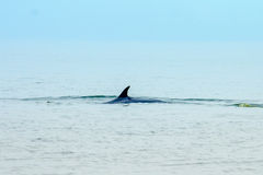 Whale. Swimming in the Gulf of Thailand royalty free stock images