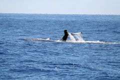 Whale swimming on it's back Royalty Free Stock Images