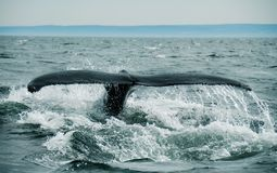 Whale Tail. Diving whale in st-laurent royalty free stock images