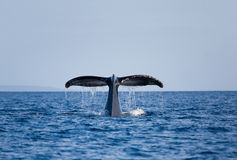Free Whale Tail Royalty Free Stock Photography - 15612447