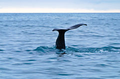 Whale Tail. A Sperm whale tail sticking out of the sea as it dives Stock Photo