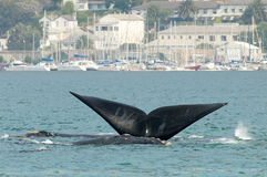 Whale Tail. Southern Right whale with tail in Simonstown Harbor near Cape Town stock photos