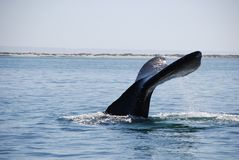 Whale tail. Tail of gray whale Baja California Sur stock photography
