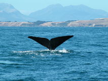 Whale tail. Tail of a Sperm whale, New Zealand royalty free stock photos