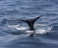 Whale tail. Whale jumping exposed surface of the tail Royalty Free Stock Photo