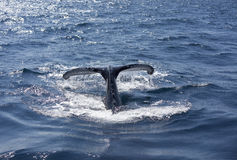 Whale tail. Whale jumping exposed surface of the tail Stock Photography
