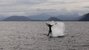 Whale tail. Whale jumping in the ocean, near Valdez Alaska Stock Photos
