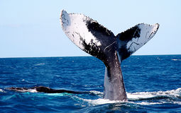 Whale Tail. Fluke of a humpback whale Royalty Free Stock Images