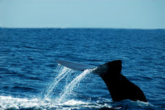 Whale tail. Sperm whale tail lifting for a dive Stock Photography