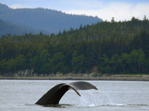 Whale Tail, Alaska. A humpback whale is flipping its tail, or fluke, near a coastal community near Juneau, Alaska in a channel of water of the inside passage of Royalty Free Stock Photo