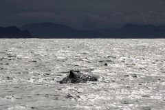 Whale tail in the Atlantic Ocean. In Norway on a cloudy day Royalty Free Stock Photos