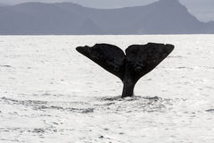Whale tail in the Atlantic Ocean. In Norway on a cloudy day Stock Photos
