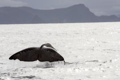 Whale tail in the Atlantic Ocean. In Norway on a cloudy day Stock Photography