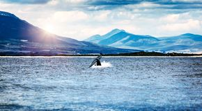 Whale tail. In the Atlantic ocean over mountains background, wild animals safari, beautiful nature of the Hermanus city, South Africa stock photos