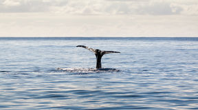 Whale tail Azores Royalty Free Stock Photo