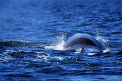 Whale tail Royalty Free Stock Photos