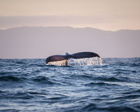 Whale tail 4. A big humpback whale splashes his tail stock photos