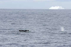 Whale tail and blow spout with iceberg Royalty Free Stock Photos