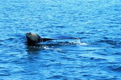 Whale tail in blue water royalty free stock photography