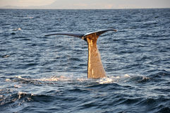 Whale tail close up,  North Sea Stock Photo