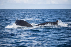 Whale Tail Descending in Caribbean Sea Stock Photos