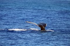Whale tail diving Royalty Free Stock Photography