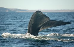 Whale tail diving. Patagonian whale diving in the atlantic ocean Stock Photography