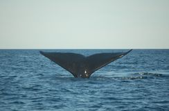 Whale tail diving. Patagonian whale diving in the atlantic ocean Stock Photos