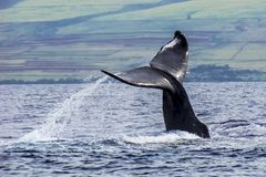 Humpback Whale Tail Emerges from Ocean in Hawaii. Whale tail emerges from the Pacific Ocean in Hawaii with ocean spray trailing off the back royalty free stock photos