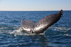 Whale tail. Fluke of a humpback whale. Picutre taken on the Indian ocean in Western Australia Royalty Free Stock Photography