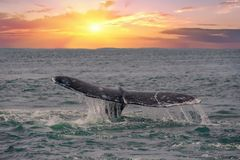 Whale tail going down on sunset background Royalty Free Stock Image