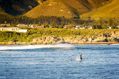 Whale Tail at Hermanus, South Africa Royalty Free Stock Photography
