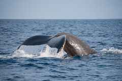Whale tail. Humpback whale tail diving in ocean Stock Photo
