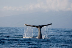 Whale tail. Humpback whale tail diving in ocean Royalty Free Stock Image