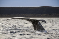 Whale tail Stock Image