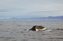 Whale tail, Kaikoura, New Zealand Stock Images