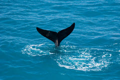 Whale tail in ocean. Whale diving in ocean with tail in the air royalty free stock image