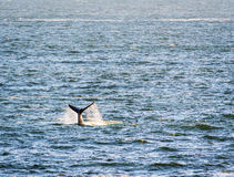 Whale Tail in Ocean. Southern Right Whale`s tail with ocean spray stock photo