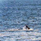 Whale Tail in Ocean. Southern Right Whale`s tail with ocean spray stock images