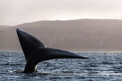 Whale tail in Puerto Madryn, Chubut, Argentina