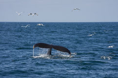 Whale tail and seagulls Royalty Free Stock Image