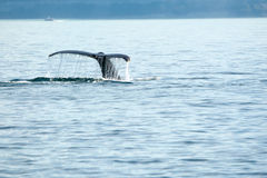 Whale Tail. Whale showing tail while diving in Pacific stock image